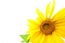 Yellow Sunflower With Green Leaf Royalty Free Stock Photo