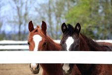 Free Horses Behind A Fence. Royalty Free Stock Image - 13849576