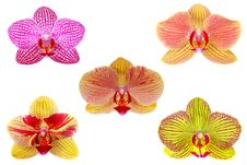 Free Orchid Royalty Free Stock Images - 13849829