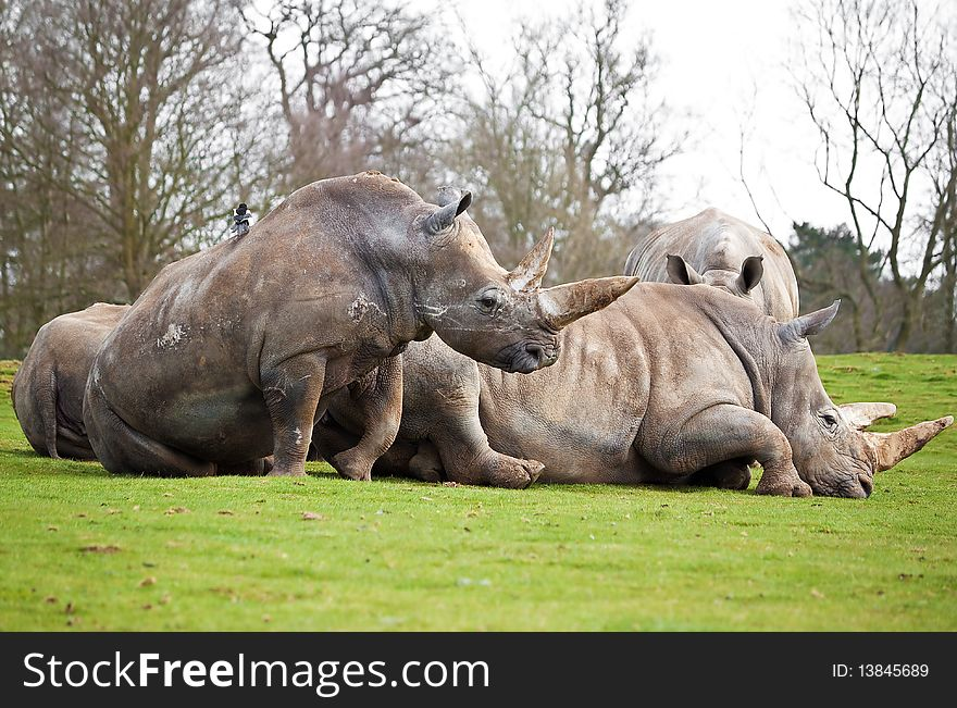 A group of white rhinos lying in a field