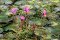 Free Lotus-pond Stock Images - 13851234