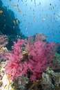Free Vibrant Soft Corals Stock Photography - 13853042