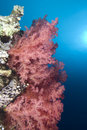 Free Vibrant Soft Corals Stock Photography - 13853312