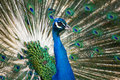 Free Blue And Green Peacock Royalty Free Stock Photography - 13854967