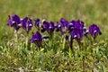Free Violet Dwarf Iris Stock Photos - 13857333