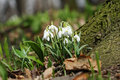 Free Snowdrops Royalty Free Stock Image - 13859186