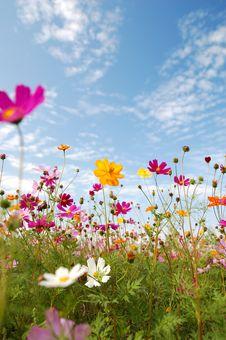 Free Chrysanthemum Stock Photography - 13850742