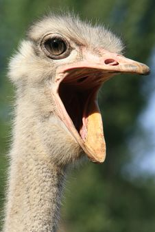 Free Ostrich Stock Image - 13851641