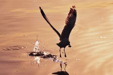 Free Silhouette Seagull Royalty Free Stock Image - 13852136