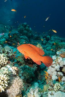 Free Coral Grouper Royalty Free Stock Images - 13852159