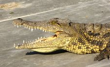 Free Crocodile Stock Photography - 13852272