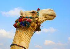 Free Camel Stock Photo - 13852480
