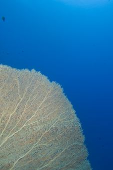 Giant Sea Fan Royalty Free Stock Images