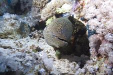 Free Giant Moray Royalty Free Stock Images - 13852649