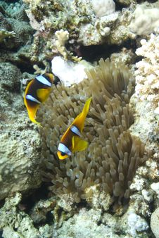 Red Sea Anemone Fish Stock Photo