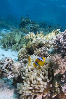 Free Red Sea Anemone Fish Stock Photo - 13852900