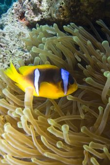 Free Red Sea Anemone Fish Royalty Free Stock Images - 13852929