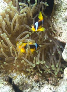 Red Sea Anemone Fish Royalty Free Stock Images