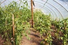 Free Greenhouse Tomatoes Royalty Free Stock Photos - 13853088
