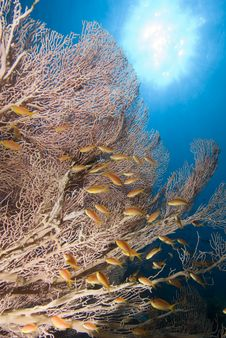 Free Giant Sea Fan And Golden Anthias Stock Photo - 13853110