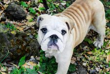 Free Bulldog Stock Photo - 13853130