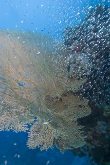 Free Giant Sea Fan Royalty Free Stock Image - 13853146