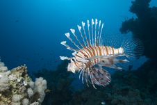 Free Ornate Lionfish Royalty Free Stock Images - 13853199