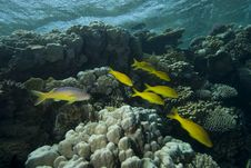 Free Yellow Tropical Fish Royalty Free Stock Photography - 13853517