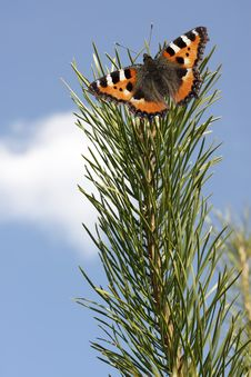 Butterfly On A Pine Branch Royalty Free Stock Photo