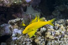 Free Yellow Tropical Fish Royalty Free Stock Images - 13853569