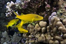Free Yellow Tropical Fish Royalty Free Stock Photo - 13853585