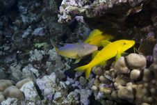 Free Yellow Tropical Fish Stock Photography - 13853602