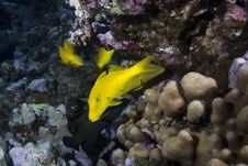 Free Yellow Tropical Fish Stock Images - 13853614