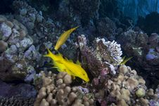 Free Yellow Tropical Fish Royalty Free Stock Photography - 13853637