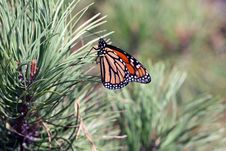 Free Monarch Butterfly Royalty Free Stock Images - 13853719