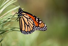 Free Monarch Butterfly Royalty Free Stock Photos - 13853768