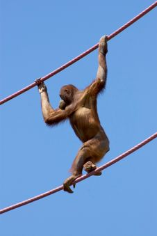 Free Orangutan Climbing On A Cable Royalty Free Stock Photography - 13854977