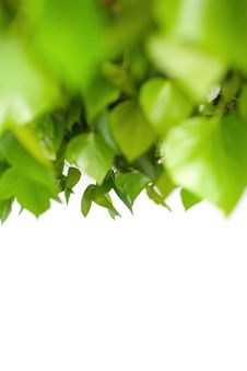 Free Green Foliage Royalty Free Stock Photography - 13855267