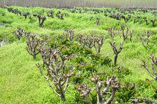 Free Mulberry Stock Photo - 13856550
