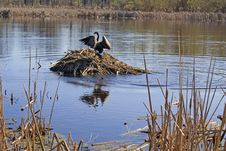 Free Canada Goose Strutting Atop A Muskrat Lodge Stock Image - 13856571