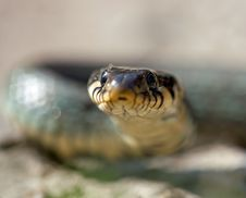 Free The Grass Snake Royalty Free Stock Photos - 13856598