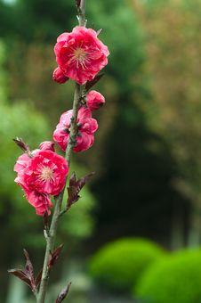 Free Peach Blossom Stock Photos - 13856633