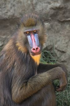 Free Mandrill In The Zoo. Royalty Free Stock Photography - 13857207