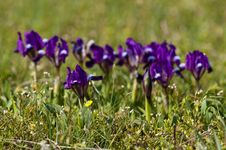 Free Violet Dwarf Iris Stock Photos - 13857333