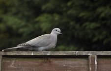 Free Collared Dove Stock Photos - 13857393