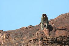 Free Alert Monkey Stock Photos - 13857443