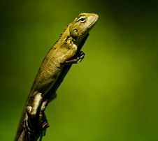 Free Green Lizard Royalty Free Stock Images - 13857549