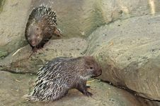 Free Porcupines Stock Photos - 13858083
