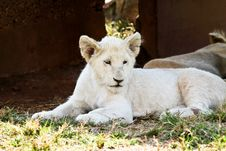 Free White Lion Cub Royalty Free Stock Photo - 13858315