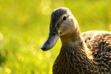 Free Duck 002 Stock Images - 13858684